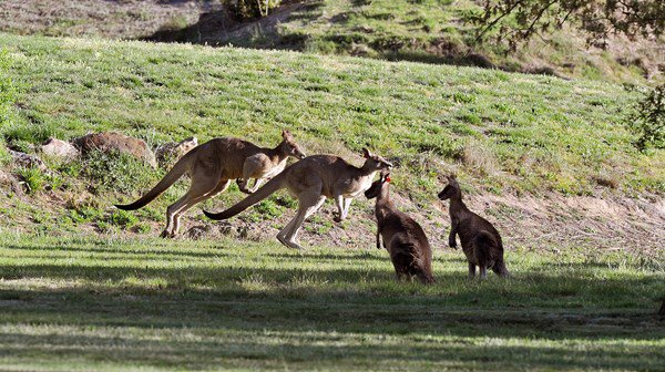 Teen charged with running over 20 kangaroos