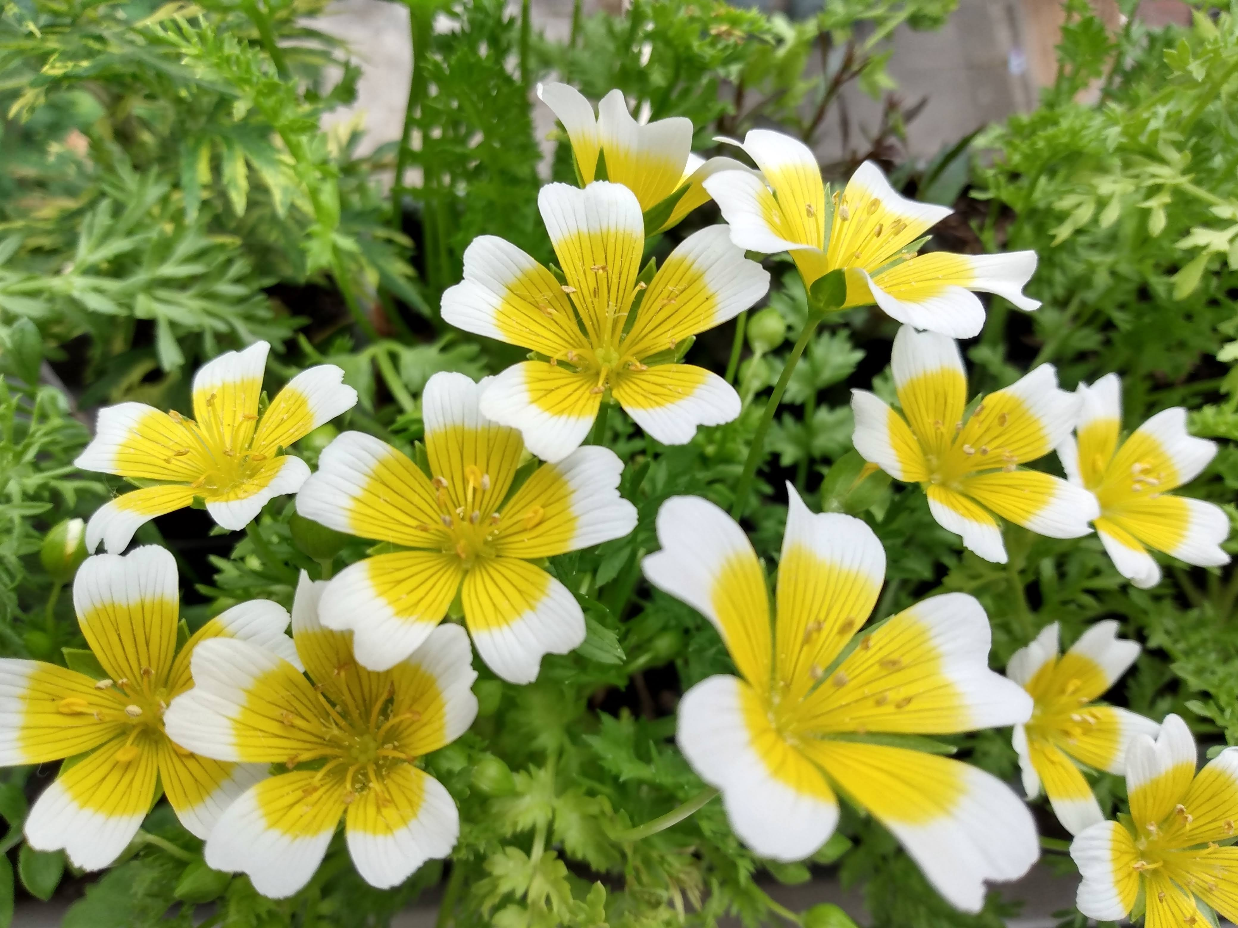 Best Pot Plant: Fiona, Poached egg plant in window box. Seeds Project