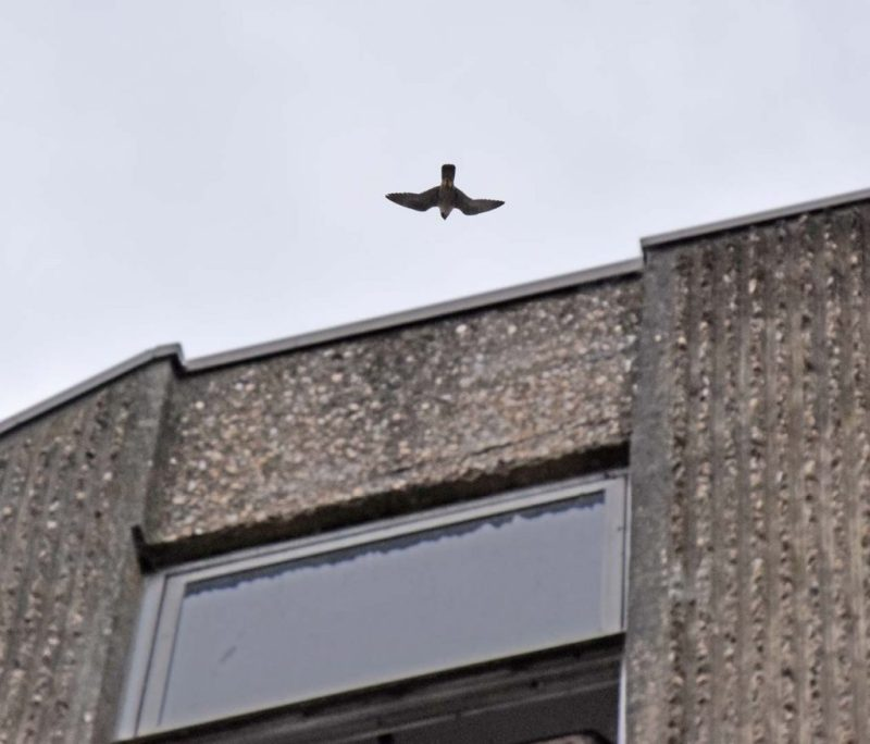 A passerby spotted this bird of prey hovering whilst squawking at something on the car park roof.