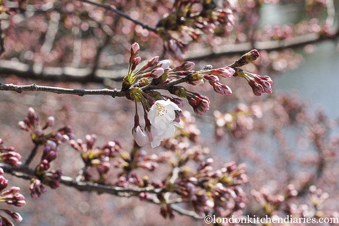 Shinjuku Gyoen National Garden Cherry Blossom