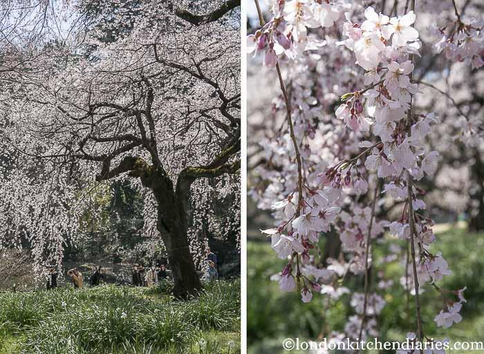 Shinjuku Gyoen National Garden Tokyo Cherry Blossom
