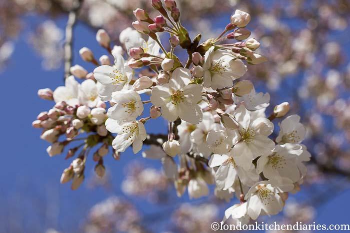 Cherry/Blossom/Japan