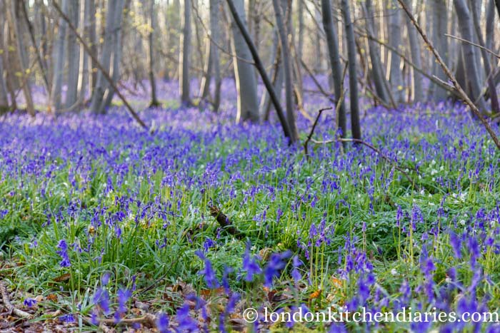 Bluebells in woodland of Kent