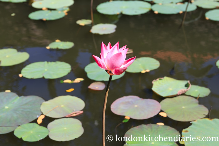 A pink lotus flower at Pura Taman Saraswati Ubud in Bali