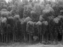 Daesoo Kim: Bamboo Field (2003)