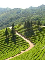 Tea plantation in Boseong, Jeollanam-do