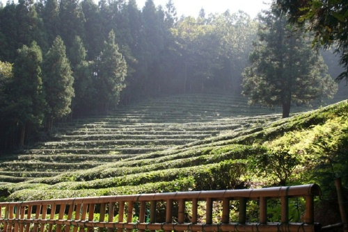 Tea slopes 2