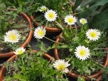 Taraxacum coreanum Nakai