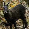 Thumbnail for post: Not drugs, but musk deer medicine, say North Koreans