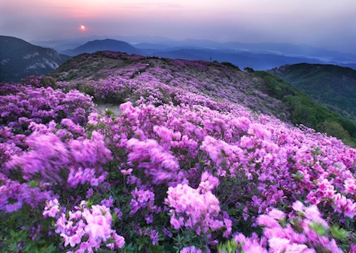 The azaleas of Hwangmaesan in full bloom