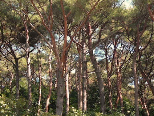 The red pines of Hansando