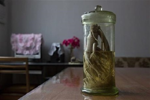 Ginseng at Pyongyang Medical College