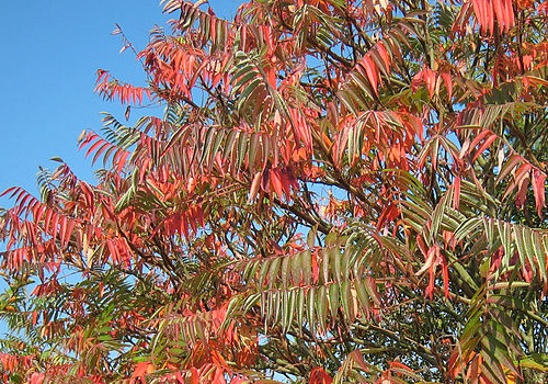 A variety of Rhus tree (source - Manfred Heyde / Wikimedia)