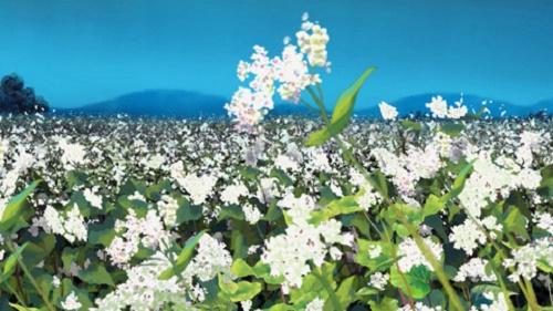 Buckwheat flowers gently waving in the moonlit breeze