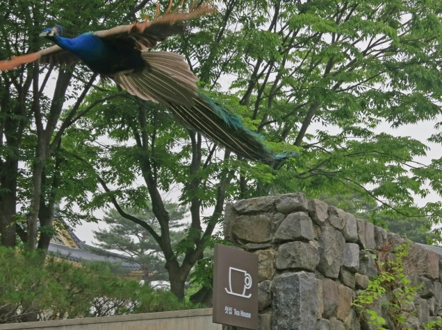 A peacock takes some exercise outside the teashop