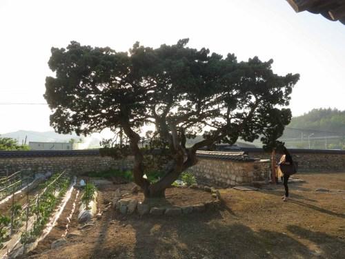 An aged tree in Yun Du-seo's yard