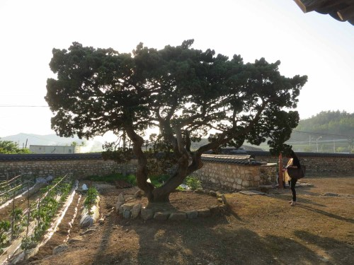 An aged tree in Yun Du-seo's yard