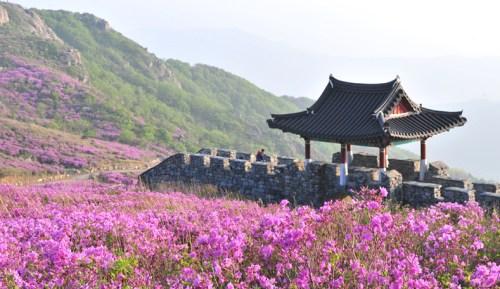The azaleas of Hwangmaesan in full bloom