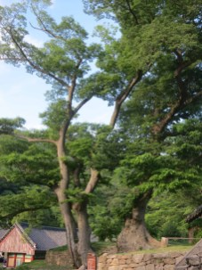 The two trees with intertwining roots between the bell pavilion and the Cheonbuljeon courtyard