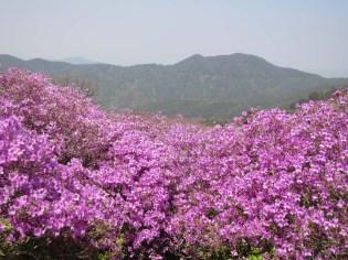 Hwangmaesan's azaleas