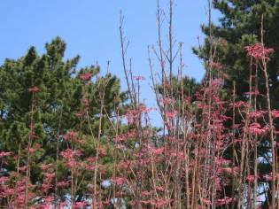 """Chollipo Arboretum: Toona Sinensis """"Flamingo"""""""