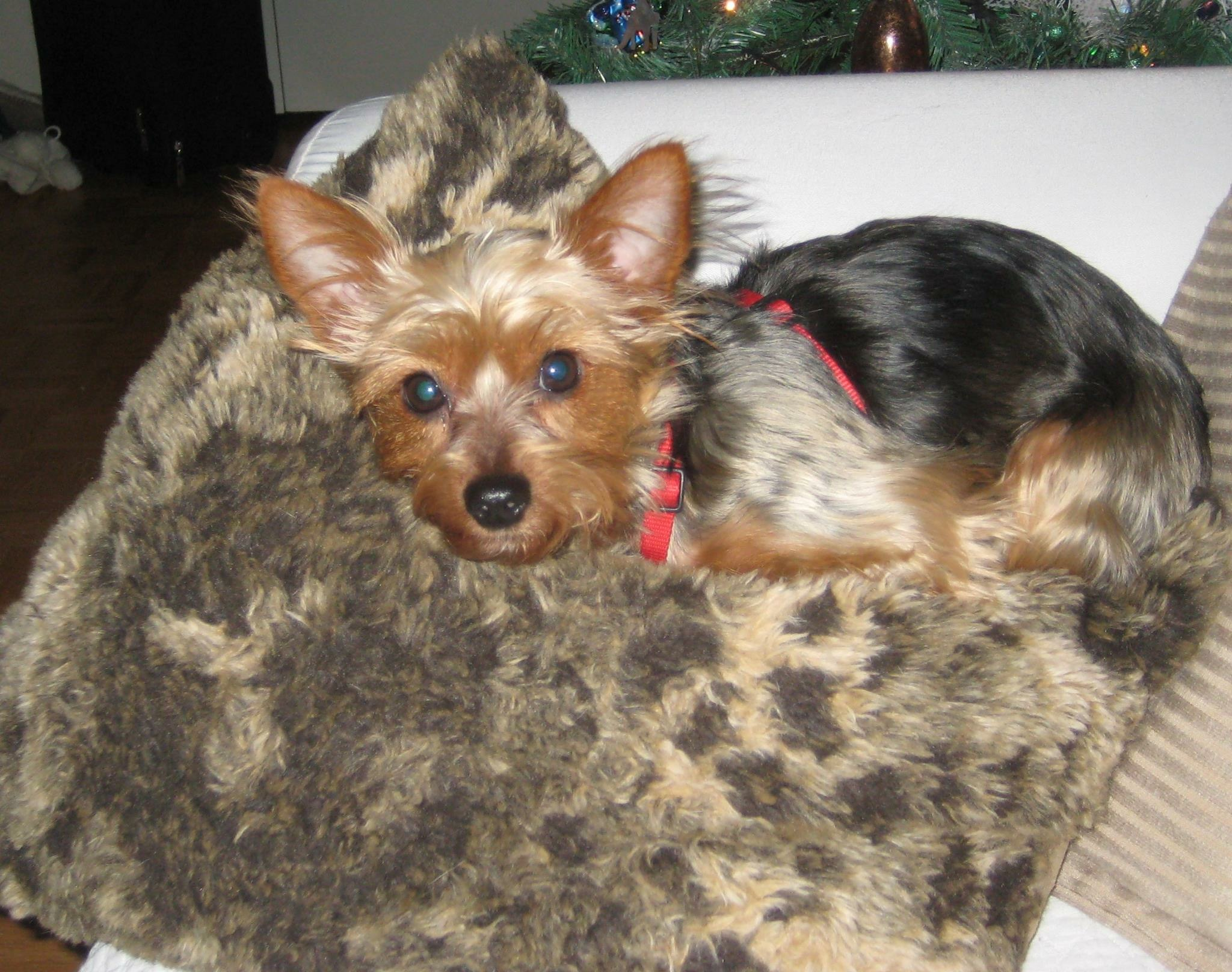 Brandy Lost Female Dog Tan And Black Yorkie London Lost Pets