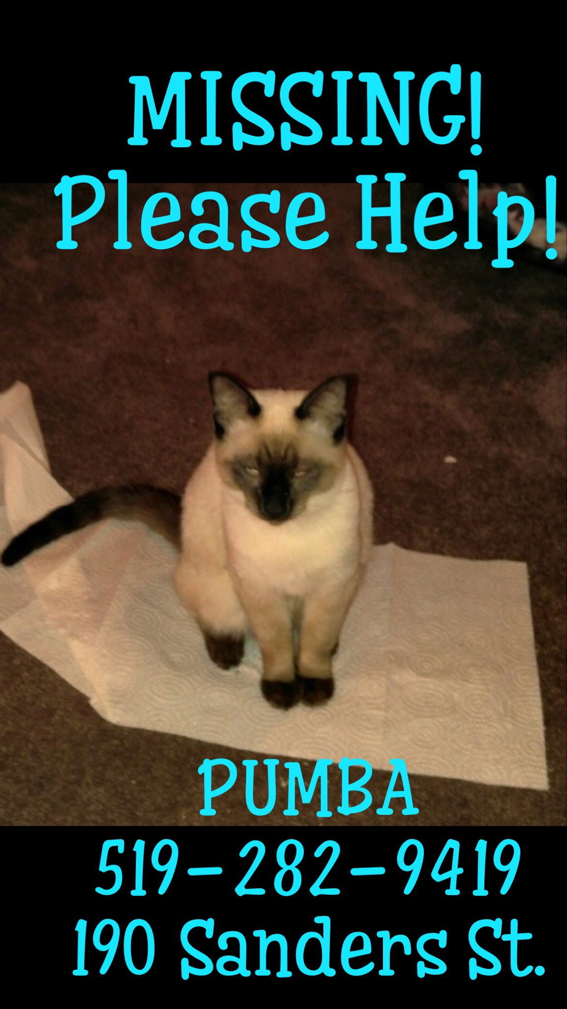 Pumba Lost Male Cat Seal Point Siamese (Beige And Dark