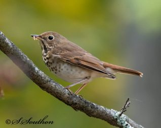 hermit thrush with meal, invite birds to help us do our gardening with fewer chemicals