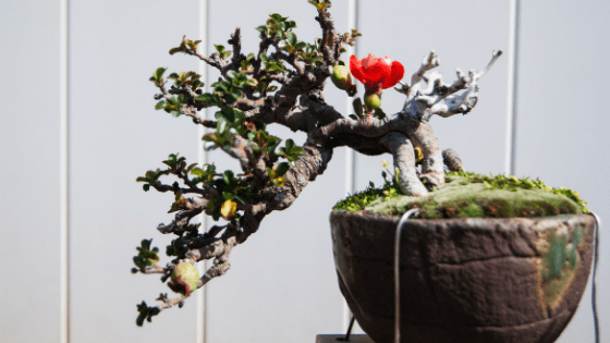 Protecting Bonsai Winter