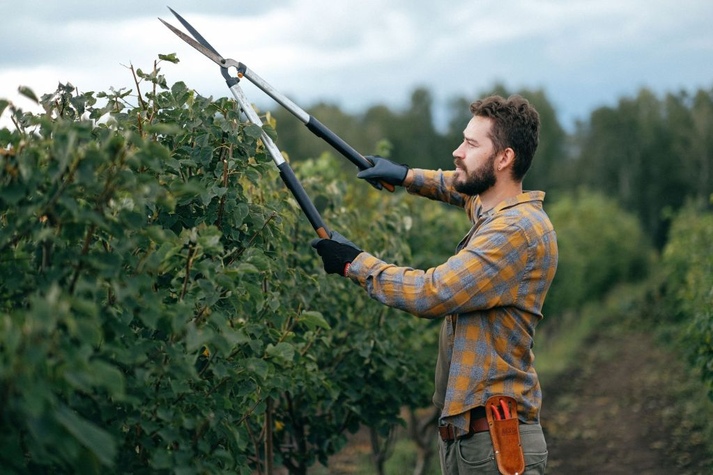 pruning trees and shrubs with loppers