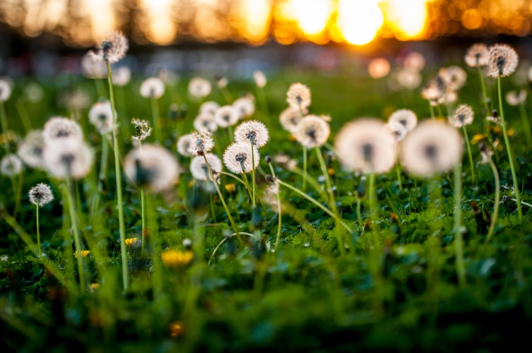 dandelions are not bee friendly-