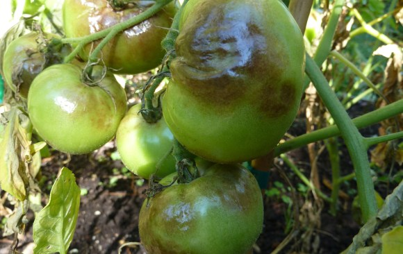 What disease is destroying my tomatoes?
