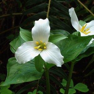 Creating A Trillium Garden