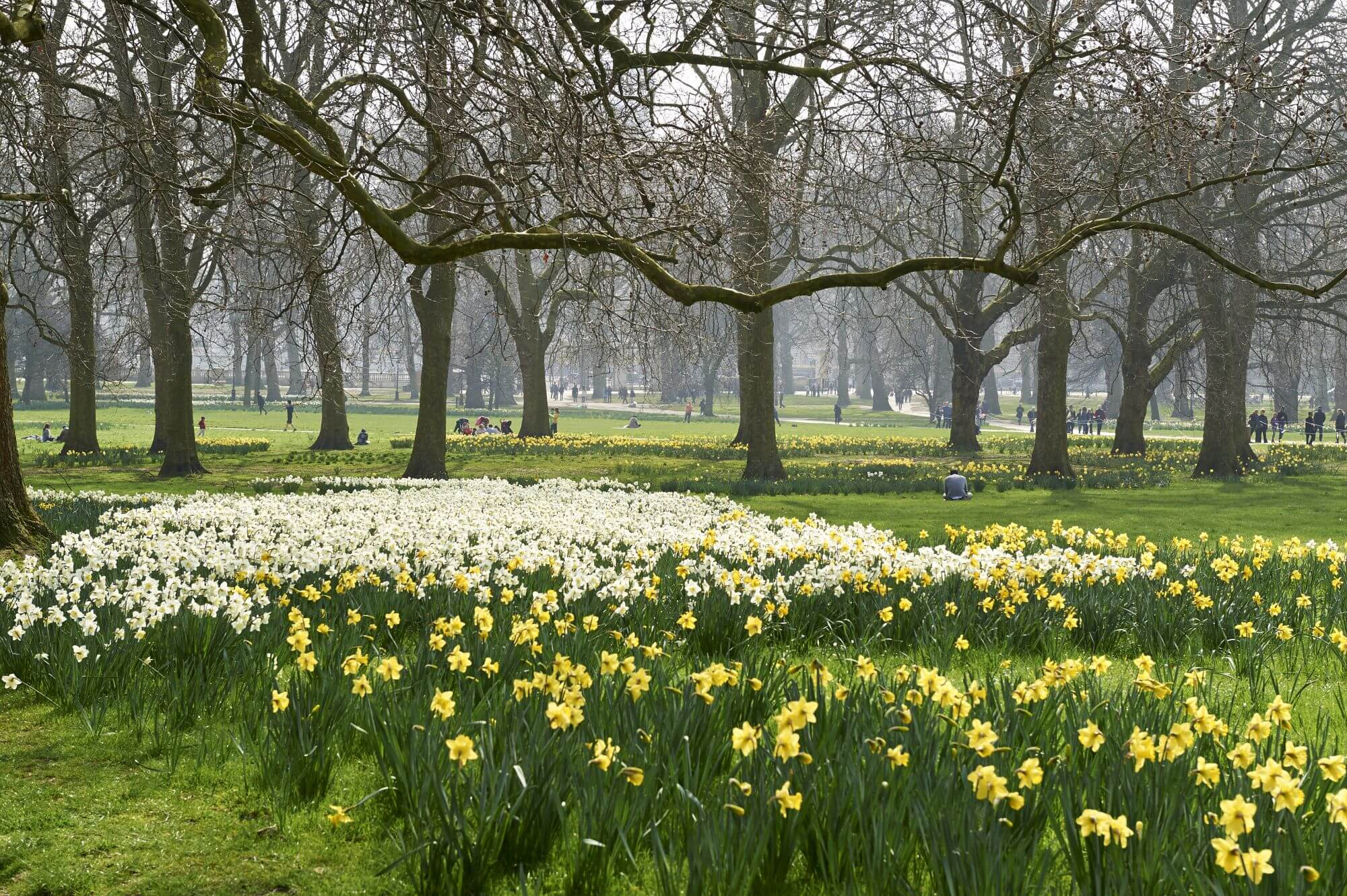 Daffodils in The Green Park.