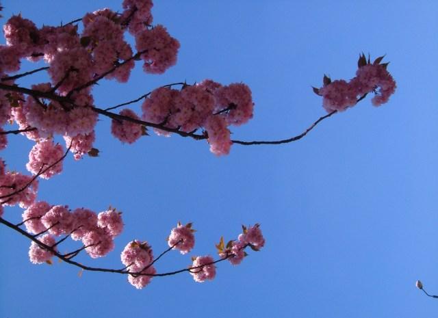 Cherry blossom in Globe Lane