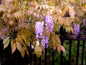 Wisteria, and new leaves