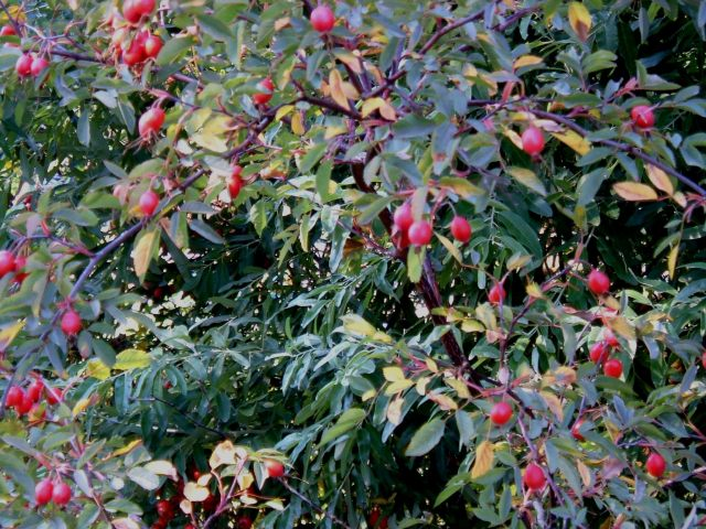 Rose hips are forming and colouring