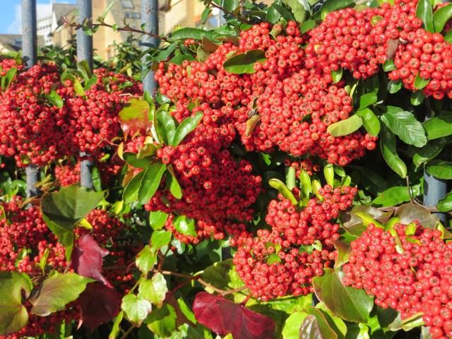 Cotoneaster laden with berries