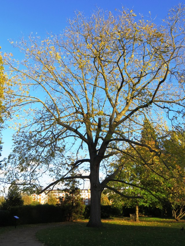 Black Walnut Tree, Fulham Palace
