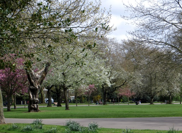 Cherry trees in Victoria Park