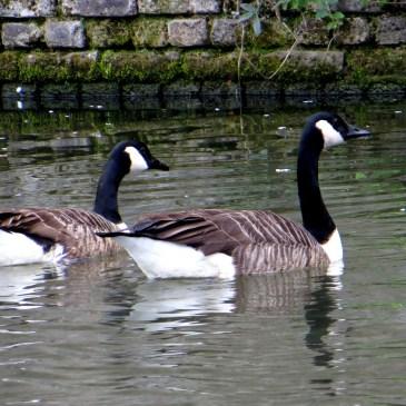 Regent's Canal Walk, no.2, the birds!