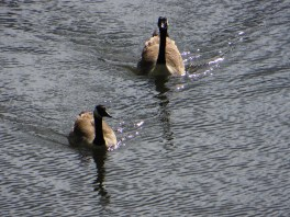 Canada Geese on Regent's Canal