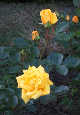 Yellow rose in Greenwich Park