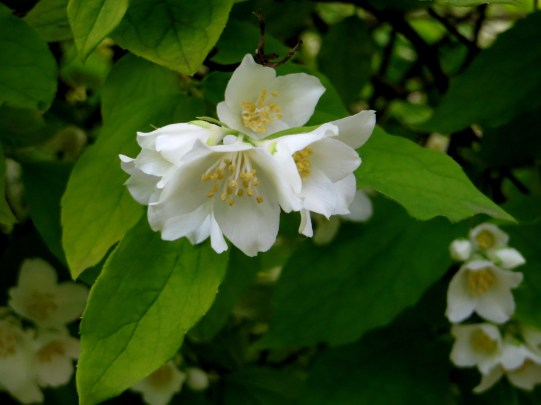 Philadelphus in Greenwich Park