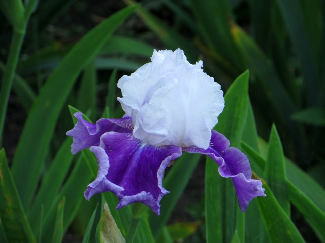 Iris in Greenwich park