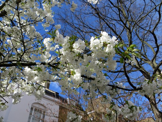 Flowering cherries at Barnsbury Square