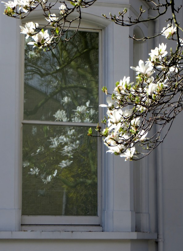 Magnolias at Barnsbury Square