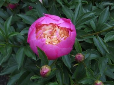 Paeony 'Bowl of Beauty'