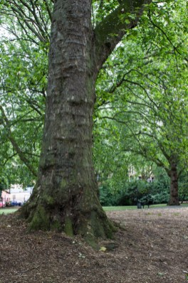 Plane tree in Southwark Park