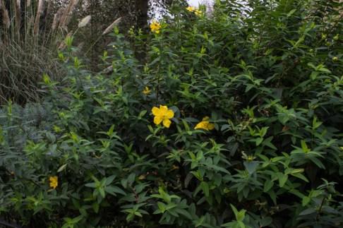 Late-flowering hypericum